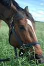 Horse Eating Grass Royalty Free Stock Photography - 2642977