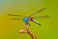 Dragonfly Blue Dasher Royalty Free Stock Image - 26401806
