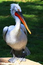 Great White Pelican Stock Images - 26409354