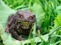 Toad Royalty Free Stock Photos - 26409818