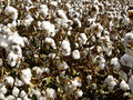 Cotton In The Raw Stock Photography - 26419402