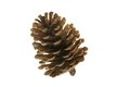 Pinecone Royalty Free Stock Photo - 26429525