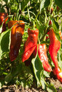 Peppers Stock Image - 26429531