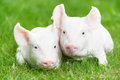 Young Piglet On Green Grass Royalty Free Stock Photos - 26430238