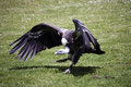 Vulture Stock Image - 26431101