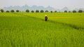 Rice Plantation And Man Stock Photography - 26434862