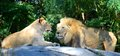 Male And Female Lion Stock Photography - 26439562