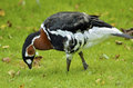 Red-breasted Goose Royalty Free Stock Images - 26441479