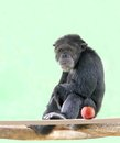 Smart Chimpanzee(chimp) Sitting In Relaxed Mood Stock Images - 26463944