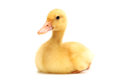 Little Duck Stock Images - 26491974