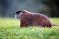 Groundhog On Lawn Stock Image - 26501641