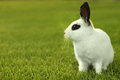 White Bunny Rabbit Outdoors In Grass Royalty Free Stock Image - 26506166