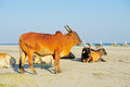 Cows On The Beach Stock Photography - 26508902