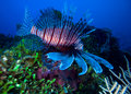Lionfish (Pterois) Near Coral, Cayo Largo, Cuba Stock Images - 26513004