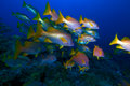 School Of Snappers, Cayo Largo, Cuba Royalty Free Stock Image - 26513036