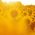 Field Of Sunflowers Royalty Free Stock Photo - 26524435