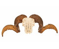 Rams Skull With Full Curl Horns Stock Photo - 26525160