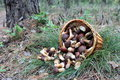 The Basket Of Mushrooms In The Forest Stock Photography - 26531282