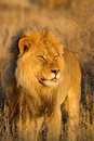 King Lion Stock Images - 26536574