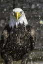 American Bald Eagle In Rain - Nictitating Membrane Royalty Free Stock Photography - 26537967