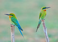 Blue Tailed Bee Eater Stock Photos - 26553513