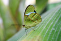 The Green Butterfly Stock Photo - 26569640