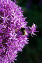 Bumble Bee On Purple Flowers Royalty Free Stock Photo - 26576775