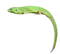 Green Lizard With A Twisted Tail Royalty Free Stock Image - 26591036