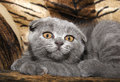 Small Gray Cat Royalty Free Stock Photos - 26615608