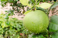 Pomelo Fruit Royalty Free Stock Images - 26619749