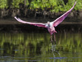 Roseate Spoonbill Taking Off Royalty Free Stock Photography - 26627597