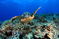Sea Turtle Royalty Free Stock Photo - 26630115