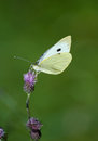 Pieris Brassicae Stock Image - 26632211