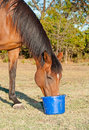 Bay Horse Eating Feed From A Bucket Stock Image - 26635751