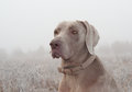 Closeup Of A Weimaraner Dog Royalty Free Stock Images - 26635799