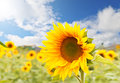 Sunflowers Field Stock Photography - 26643192
