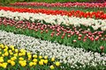 Colorful Tulips. Stock Photos - 26664183