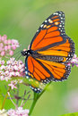 Monarch Butterfly Royalty Free Stock Image - 26676016