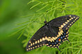 Swallowtail Butterfly Stock Photos - 2670723