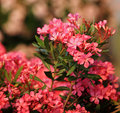Oleander Stock Photography - 26709702