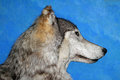 Wolf Stock Images - 26711094