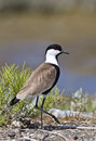 Spur-winged Lapwing Royalty Free Stock Photography - 26733887