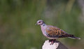 Turtle Dove Stock Photos - 26738563