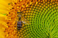 Sunflower With A Honey Bee Royalty Free Stock Images - 26740789