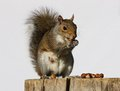 Grey Squirrel Royalty Free Stock Photos - 26756638