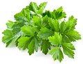 Bunch Of Green Coriander Royalty Free Stock Images - 26758279