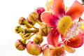 Cannon Ball Tree Flower. Stock Photography - 26759262