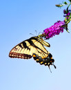 Eastern Tiger Swallowtail Butterfly Stock Images - 26765304