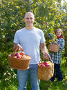 Man And Woman Picks Apples Royalty Free Stock Image - 26765496