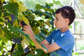 Schoolboy Picking Grapes From Vines Stock Image - 26777151
